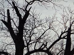 Interesting Tree. (dccradio) Tags: lumberton nc northcarolina robesoncounty outdoor outdoors outside nature natural sky overcast cloudy greyskies grayskies sony cybershot dscw830 march spring springtime sunday sundaymorning goodmorning morning tree treebranch branches branch treebranches treelimb treelimbs eerie