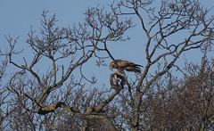 Red kite (yvonnepay615) Tags: panasonic lumix gh4 nature bird redkite holkham norfolk eastanglia uk