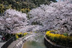 K4092159 (ODHuang) Tags: kyoto 京都 japan 日本 山科 山科疏水