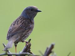Dunnock (stephen.reynolds) Tags: dunnock thornton reservoir leicestershire green bokeh brown grey songbird