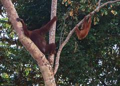 mother and child (Ignati) Tags: kinabatanganriver kinabatangan malaysia borneo sabah jungle river forest creature animal wildanimal tree trees orangutan ape mammal орангутан борнео сабах кинабатанган pongopygmaeus borneanorangutan калимантанскийорангутан