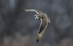 Short-Eared Owl - Those eyes will follow you around the room (Ann and Chris) Tags: avian amazing awesome adorable bird beautiful eyes stunning stare staring feathers flying gorgeous hunting hunt impressive incoming looking owl shortearedowl shorteared unusual vivid wildlife wild wings