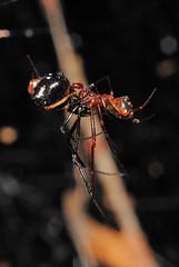 Theridiidae mating (Alvaro_L) Tags: spider mating cópula macho hembra theridiidae araña male female behavior animal araneae arachnida