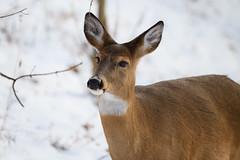 Snowy Deer (Eric Tischler) Tags: deer ohio winter snow