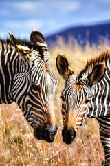 Mountain Zebra, mare and her foal. (SuzieAndJim) Tags: safari suzieandjim naturephorography nature zebra southafrica africa nationalpark mountainzebra