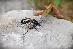 Thread-waisted Wasps (Eremnophila aureonotata) (JHousePhotos) Tags: arkansas wasps sphecidae