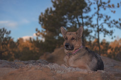 Liesl (Cruzin Canines Photography) Tags: animal animals canon canoneos5ds canon5ds canine 5ds eos5ds dog dogs pet pets gsd germanshepherd shepherd liesl outdoors nature naturallight palmerpark colorado coloradosprings portrait
