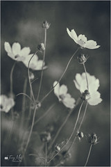 Breathing dreams like air... F. Scott Fitzgerald (Tracy Metz) Tags: poetry nature blackandwhite monotones macro texture floral
