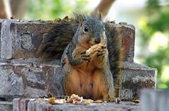 5 Finally Taking A Bite (Kaptured by Kala) Tags: sciurusniger foxsquirrel squirrel garlandtexas pecan closeup outsidemywindow brickwall eating feeding greenpecan unripepecan