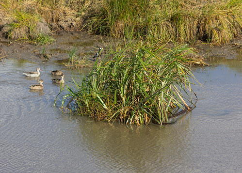 Three ducks facing three African rock pythons