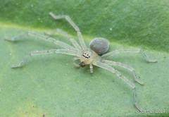 Huntsman spider (Sparassidae) 2G1A6299 (KS Tan Photo) Tags: sparassidae
