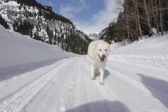 Happy Mogli (balu51) Tags: winter winterspaziergang hund kuvasz ungarischerhirtenhund landschaft berge strasse schnee landscape mountain snow road dog graubünden surselva januar 2019 copyrightbybalu51