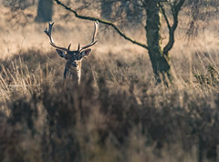 We are being watched! (ukmjk) Tags: staffordshire stag cannock chase nikon nikkor d500 300mm f4 pf tc14e2 dear deer