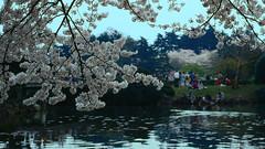 Cherry blossom (lebre.jaime) Tags: japan tokyo shinjukuimperialgarden 日本 東京 新宿御苑 cherry blossoms 櫻 さくら サクラ flower viewing 花見 pond people analogic film120 mf mediumformat kodak ektachrome epp iso100 hasselblad 503cx planar cf2880 epson v600 affinity affinityphoto