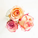 Top view of small colorful roses on white background