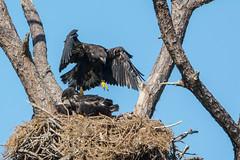 Testing 1 2 3 (ChicagoBob46) Tags: baldeagle eaglets bird fortmyers nature wildlife ngc coth5 naturethroughthelens npc