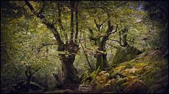 Recuerdos del otoño/ Autumn memories (Jose Antonio. 62) Tags: spain españa liébana cantabria bosque forest naturaleza nature arboles trees otoño autumn