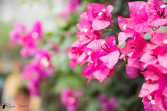 Bougainvillea (Bright Ideas with Chan Udarbe) Tags: adobe bougainvillea cc creativecloud d7200 flowers garden lightroomclassic nature nikon sigma30mmf14exdchsm outdoor fun color colors flickr