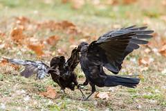 20180922_Vincennes_Corneille noire-2 (thadeus72) Tags: aves birds carrioncrow corneillenoire corvidae corvidés corvuscorone oiseaux passériformes