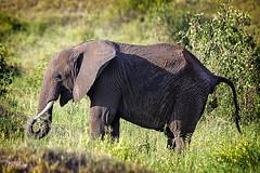 AFRICAN ELEPHANT 2 (Nigel Bewley) Tags: tanzania africa wildlife nature wildlifephotography nigelbewley photologo appicoftheweek africanelephant loxodontaafricana tarangirenationalpark february february2019 safari gamedrive