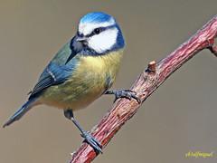 Herrerillo común  (Cyanistes caeruleus) (17) (eb3alfmiguel) Tags: aves pájaros insectívoros passeriformes paridae herrerillo común cyanistes caeruleus