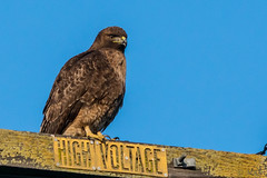 Regal Red Tailed Hawk (MelRoseJ) Tags: lodi california unitedstatesofamerica us birds nature northerncalifornia sony sal70200g a77ii redtailedhawk hawk bird
