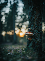 evening in the forest (robert.lindholm87) Tags: canon canoneosr canoneos eos mirrorless zeiss milvus distagon 35mm fullframe nature bokeh rings sunset goldenhour lightroom closeup mushroom fungus sweden tree trees grass forest woods