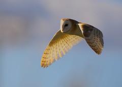 Barn Owl  (Tyto alba) Dorset (minvallaa) Tags: owl barn hunting dorset farm land