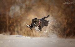 I believe i can fly (Cristina Laugero) Tags: dog chien perro fly superman jump