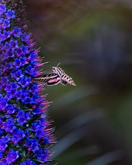 Hummingbird Moth in Flight (Patricia Ware) Tags: california canon ef400mmf4doisiiusmlens echiumcandicans handheld hummingbirdmoth huntingtonbeach hyleslineata mothsinflight prideofmadeira whitelinedsphinx ©2019patriciawareallrightsreserved unitedstatesofamerica us specanimal