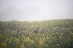 20190329 (Homemade) Tags: deer vivitar70210mmf35series1 rapeseed field farm morning sunrise wantage grove valeofthewhitehorse oxfordshire southoxfordshire fog mist