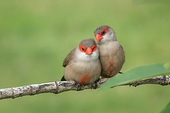 Common Waxbill DSC_1790- (BlueberryAsh) Tags: birds hawaii commonwaxbill waxbill oahu