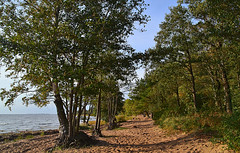 Alder alley (МирославСтаменов) Tags: russia petersburg tarkhovka alder tree forest seashore sand