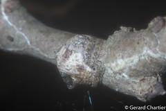 Talthybia sp. (GeeC) Tags: animalia arachnida araneae araneidae araneomorphae arthropoda cambodia kohkongprovince nature orbweavers spiders talthybia tatai truespiders