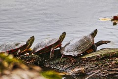 Crowd Of Turtles (chauvin.bill) Tags: tamron strickerspond paintedturtles