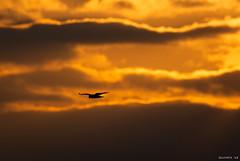 Northern Harrier at Sunset (swmartz) Tags: outdoors nikon nature newjersey sunset wildlife birds mercercounty 2018 200500mm d610 december silhouette orange
