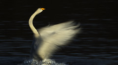 Whooper Swan - Inconventional photography is a recipe for fun! (Ann and Chris) Tags: avian bird beautiful feathers gorgeous impressive stunning swan whooper slow shutter unusual wildlife wild wings water waterbird white