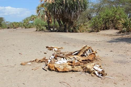 The bones of a camel in a dry river bed near Kalakol, Turkana, Kenya