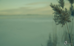 EOS_0119-1244-2 (DAN PHOTOGRAFIX) Tags: canon eos 6d reflex rehel stmichel paysage hiver winter sun soleil cold froid snow neige glace ice ciel sky nuage cloud quenouille typha
