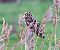 Short Eared Owl (Alan McCluskie) Tags: shortearedowl owls asioflammeus birdofprey bop wwtsteart shortie marshes coastal reeds birds somersetbirds