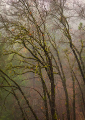 Oaks in Foggy Mist (optimalfocusphotography) Tags: northerncalifornia california usa landscape siskiyoucounty nature mist fog oak oaktree mountshasta trees