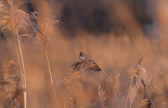 Sunrise in the reed fields (Jongejan) Tags: reedbunting bird rietgors animal reed sunday sunrise red goldenhour nature wildlife outdoor winter cold outside pentax