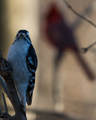 Fake shadows (Fred Roe) Tags: nikond7100 nikonafsnikkor200500mm156eed nature wildlife birds birding birdwatching birdwatcher woodpecker downywoodpecker dryobatespubescens peacevalleypark