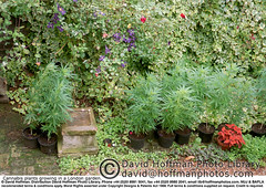 Cannabis In Garden 1 (hoffman) Tags: cannabis crime dope drugs garden growing hashish horizontal horticulture illegality joint marijuana outdoors plant resin smokes smoking youth 181112patchingsetforimagerights london uk