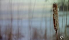 EOS_0119-1228 (DAN PHOTOGRAFIX) Tags: canon eos 6d reflex rehel stmichel paysage hiver winter sun soleil cold froid snow neige glace ice ciel sky nuage cloud quenouille typha