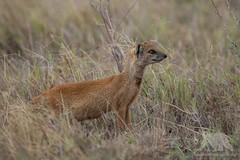 Yellow Mongoose #Explored (fascinationwildlife) Tags: animal mammal wild wildlife nature natur national park addo south africa südafrika summer afrika yellow mongoose fuchsmanguste manguste field dusk curious