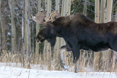 Trudging (RkyMtnGrl) Tags: moose bull alcesalces antlers winter snow aspens january colorado 2019 wildlife nature