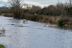 FIGHTING SWANS [ ROYAL CANAL BETWEEN BROOMBRIDGE AND ASHTOWN]-148323 (infomatique) Tags: birds swans fight wildlife nature water canal royalcanal canalwalk sony a7riii batis zeiss 135mmlens williammurphy infomatique fotonique ireland