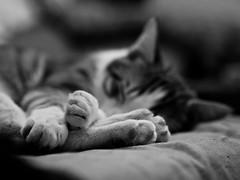 B&W Zeus (Foto_Mafu) Tags: gatos mascotas blanco y negro retrato cats