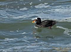 Surf Scoter (Patrick Dirlam) Tags: ocean birds trips san simeon